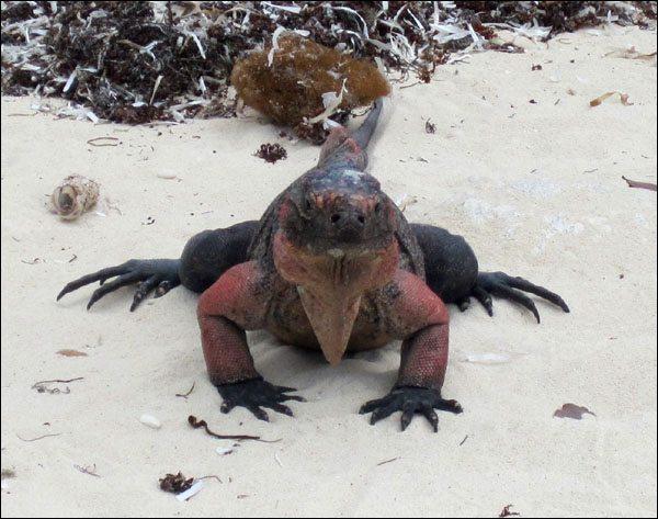 'Bahamian Iguana on Bitter Guana Cay