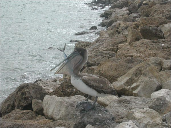 Pelican Eating a Fish