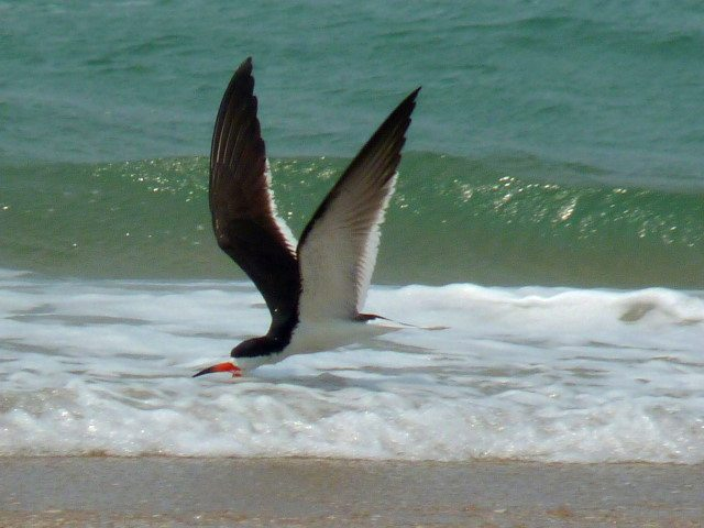 'Black Skimmer on Cape Lookout Bight