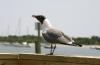 Beaufort Seagull on Taylor Creek
