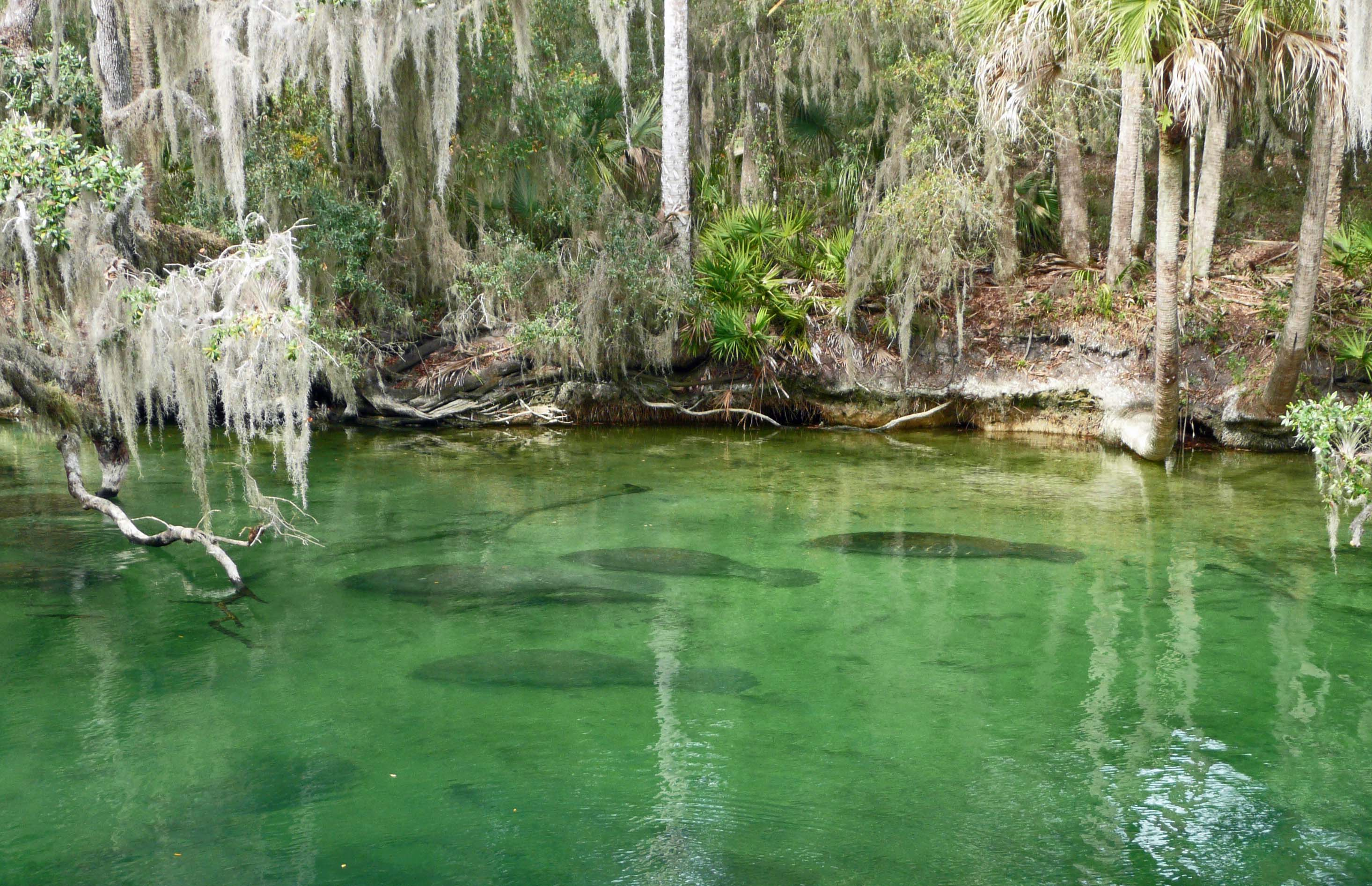 Blue Run Springs Park Manatees – St. Johns River