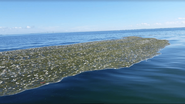 Huge floats of small dead fish all around entrance to Tampa Bay about two miles west of skyline bridge near Passage Key. Winston Fowler SSECN Patrol